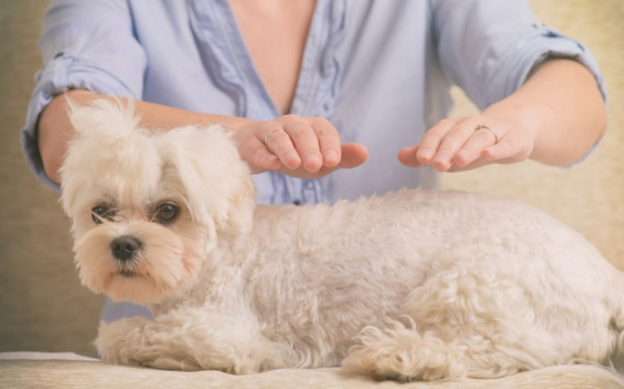 séance pour magnétiser les animaux chien couché main au dessus sans le toucher